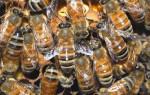 Особенности лечения грыжи пчелами